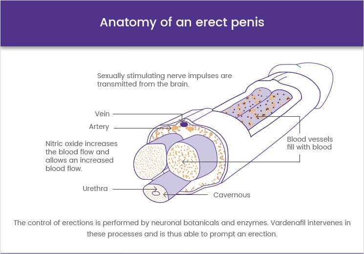 Anatomy of an erect penis