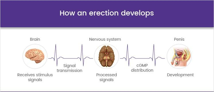 How an erection develops